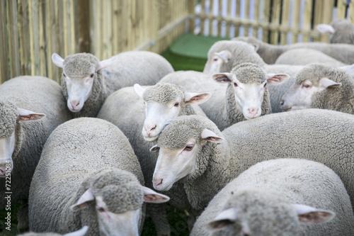 Poster de jardin Vache Schafe, Merinoschafe in einem Gehege