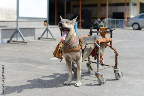 Valokuva  Disabled dog in a wheelchair.