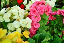 Colorful Of Begonia Flowers