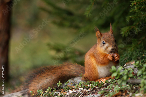 Tuinposter Eekhoorn Cute red squirrel in forest