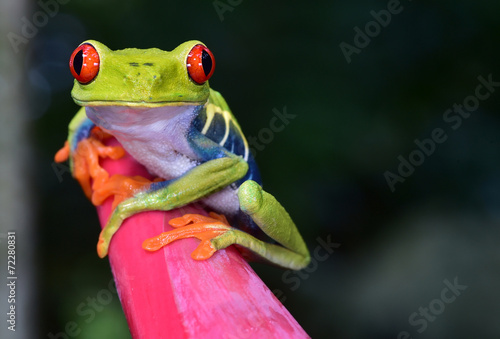 Spoed Foto op Canvas Kikker red eye tree frog perched purple flower, cahuita, costa rica