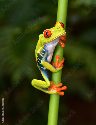Tuinposter Kikker red eyed tree frog on branch, cahuita, costa rica