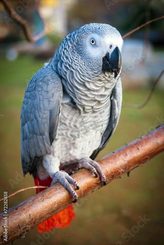 Fotografie, Obraz  African Grey Parrot perched on tree branch in park