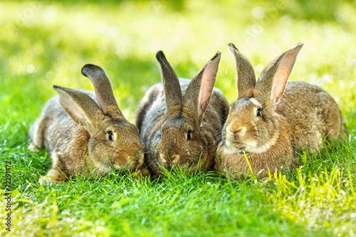 Fotografie, Obraz  Three brown rabbits