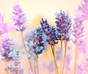 Obraz na Szkle Lawenda Beautiful lavender