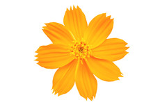 Beautiful Cosmos Or Mexican Aster Flower On White Background