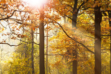 Sun Beams Through Leafage In A...