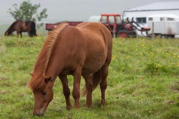 Icelandic red horse near the farm