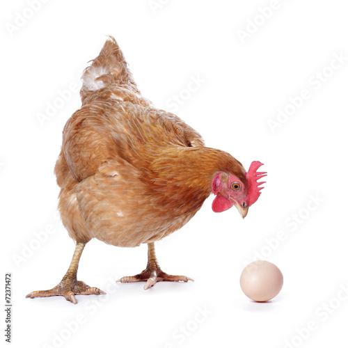 Keuken foto achterwand Kip poule avec oeuf