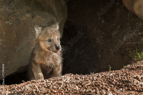 Stampa su Tela Grey Wolf (Canis lupus) Pup Pokes Head out of Den