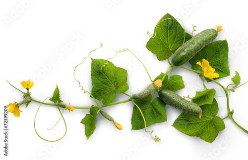 Fototapeta Vine cucumber with juicy fruits obraz