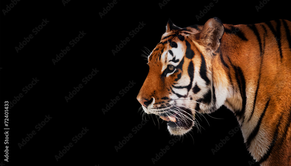 Wild tiger looking, ready to hunt, side view. Isolated on black