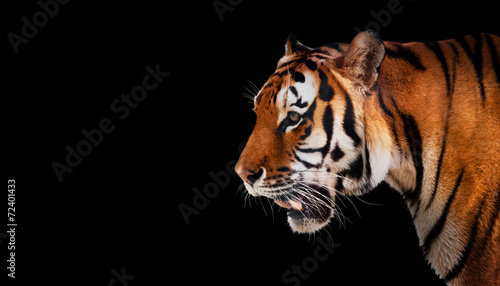 Foto op Canvas Tijger Wild tiger looking, ready to hunt, side view. Isolated on black