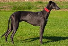 Black Greyhound Portrait On Th...