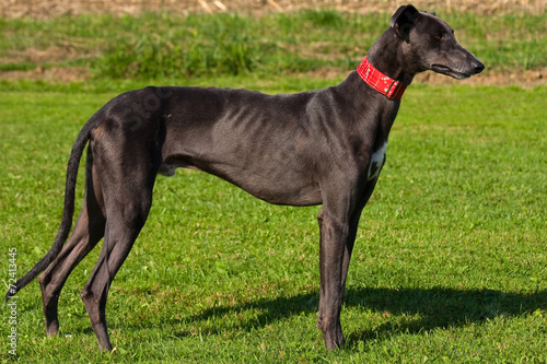 Black greyhound portrait on the grass Fototapet