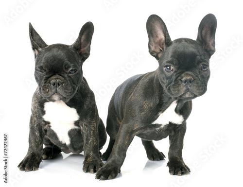 Deurstickers Franse bulldog puppy french bulldog