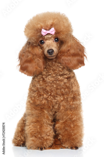 Photographie Toy poodle with pink bow