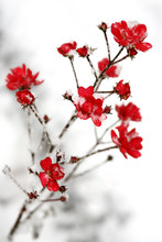 Snow On The Red Flowers