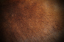 Texture Of Zebu Pelt