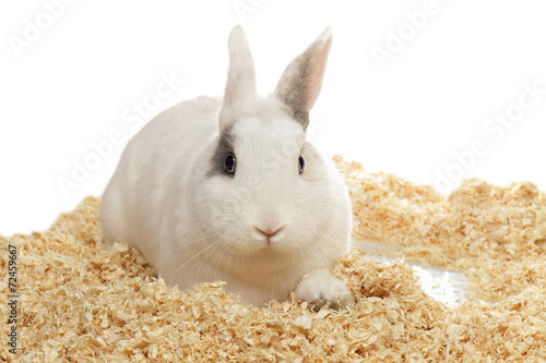 Fotografia, Obraz  lapin nain blanc
