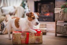 Dog Christmas, New Year, Jack ...