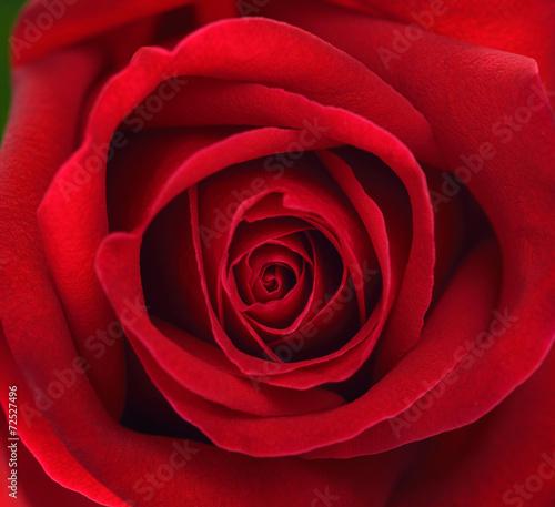 ekstremum-zamkniety-czerwieni-rozy-kwiat-up