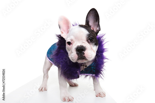 Valokuvatapetti pimp looking dressed french bulldog puppy standing