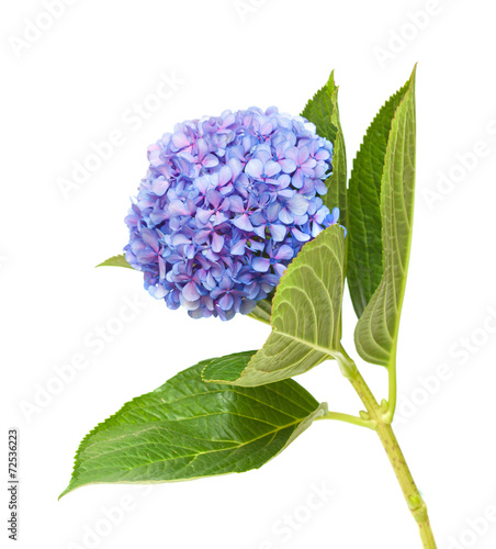 Deurstickers Hydrangea lilac-blue hydrangea isolated on white