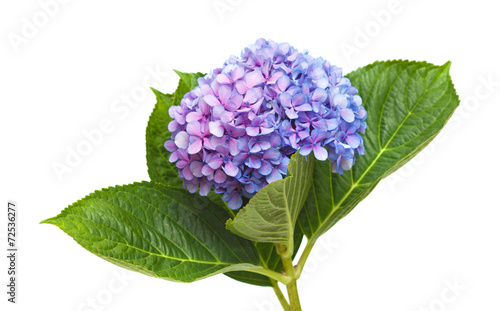 Wall Murals Hydrangea lilac-blue hydrangea isolated on white