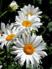 Panel Szklany Natura large white flower daisies with pure white petals