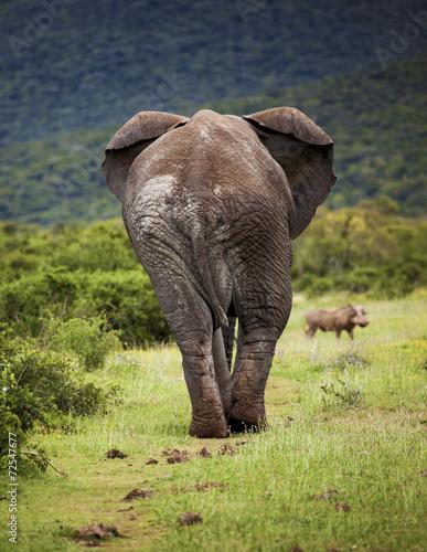 Lone African elephant bull.