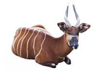 The Bongo Antelope On A White ...
