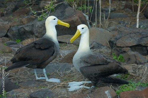 Valokuva  Waved Albatross Mating in Galapagos Islands