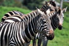 Three Zebras As Seen In A Safari Park In Melbourne.