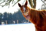 Fototapeta Horses - Funny horse