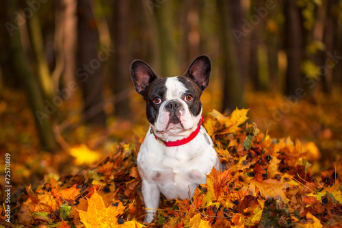 Poster Bouledogue français Portrait of french bulldog sitting in leaves