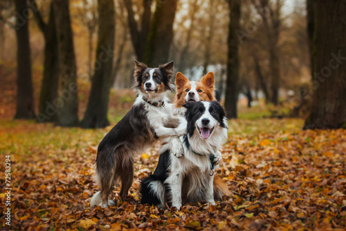 Photo obedient dog breed border collie. Portrait, autumn, nature
