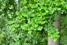Branch Of Ginkgo Tree With Wet Leaves Shining
