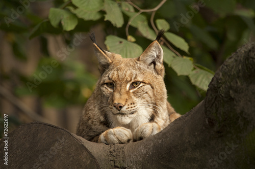 Foto op Aluminium Lynx Lynx in de boom