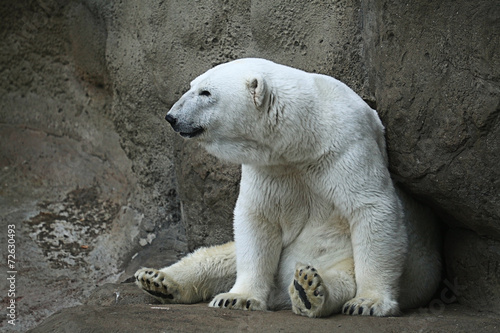 Papiers peints Ours Blanc Polar bear in a zoo