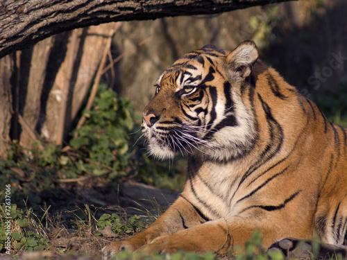 In de dag Tijger tygrys