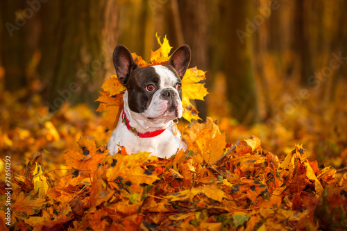 Stickers pour portes Bouledogue français Portrait of french bulldog in autumnal scenery