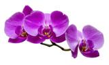 Fioletowe orchidee na izolowanym tle