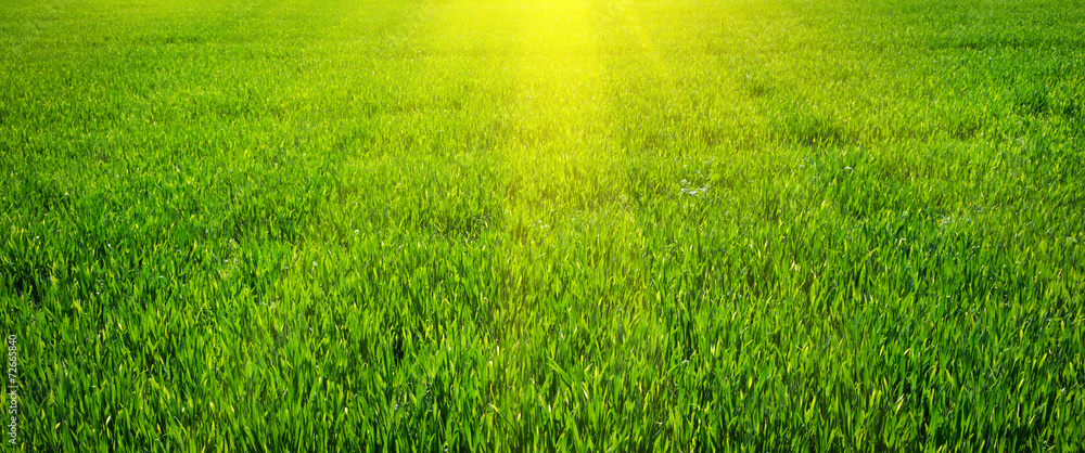 Fototapety, obrazy: Green lawn for background