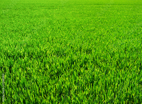 Fototapeta Background of a green grass obraz na płótnie