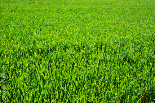 Fototapeta Green lawn for background obraz na płótnie