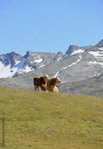 Photo sur Aluminium Népal Alpine cow on a pasture in the mountains