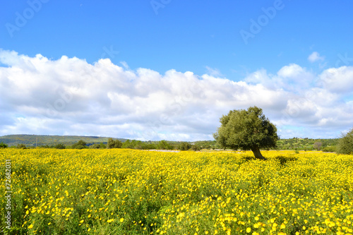 Fotografiet  Panorama con prato fiorito - albero di ulivo.