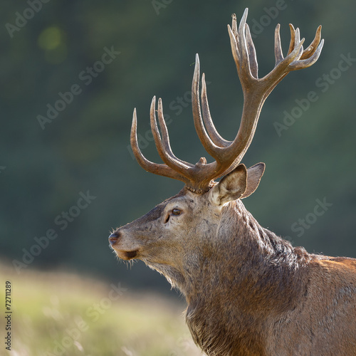 Poster Hert Portrait of a Red deer male