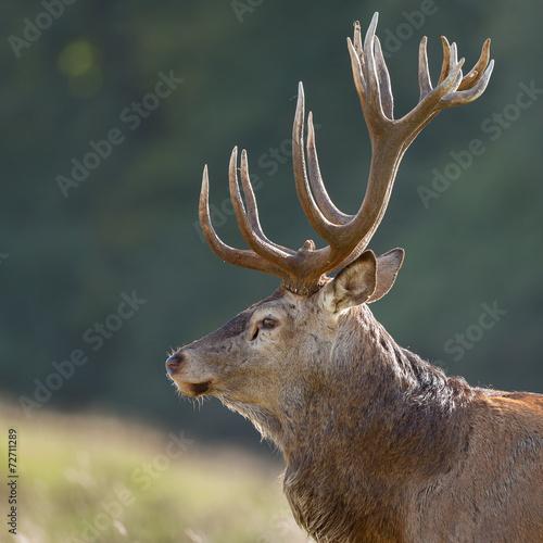Fotobehang Hert Portrait of a Red deer male
